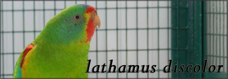 lathamus